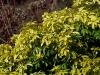 choisya-ternata-sundance-imgp0215