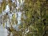 corylus-avelana-contorta-closeup-katjes