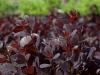cotinus-coggygria-royal-purple-imgp2199