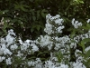 deutzia-x-rosea-campanulata-imgp2299
