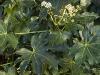 fatsia-japonica-imgp3226