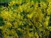 forsythia-intermedia-spectabilis