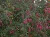 fuchsia-riccartonii-imgp3223