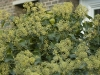 hedera-colchica-arborescens-imgp3227