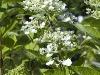 hydrangea-arborescens-grandiflora-imgp0154