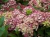 hydrangea-macrophylla-wit-rose-imgp0156