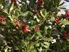 ilex-aquifolium-jc-van-tol-imgp3184