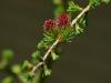 larix-leptolepis-pendula-bloei