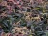 leucothoe-carinella-imgp3179