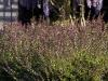 lonicera-nitida-red-tips-imgp2248