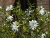 magnolia-loebneri-merrill
