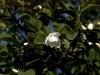 magnolia-sieboldii-imgp2259