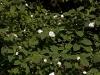 magnolia-sieboldii-imgp2260