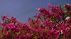 magnolia-soulangeana-susan-imgp8553-2