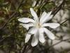 magnolia-stellata-imgp0271