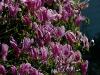 magnolia-susan-2