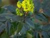 mahonia-aquifolium-apollo-closeup-bloem