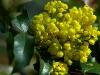mahonia-aquifolium-apollo