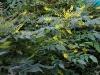 mahonia-aquifolium-wintersun