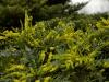 mahonia-bealii-wintersun-imgp1460e