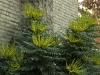mahonia-beallii-wintersun-imgp3217