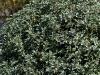osmanthus-heterophyllus-kinbu