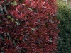 photinia-fraaserii-red-robin-imgp0279