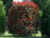 photinia-fraserii-red-robin