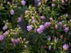 phylliopsis-hillieri-imgp0166