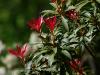 pieris-japonica-forest-flame