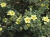 potentilla-fruticosa