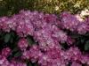 rhododendron-anuschka-imgp2275