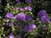 rhododendron-catawbiense-boursault-imgp2185