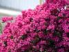 rhododendron-moederkensdag-imgp0267