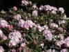 rhododendron-silberwolke-imgp2273