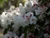 rhododendron-virginia-richards-imgp2271