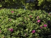 rosa-moje-hammerberg-imgp2281