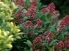 skimmia-japonica-rubella-02