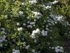 spiraea-betulifolia-tor-imgp2290