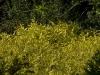 spiraea-japonica-goldmound-imgp2293