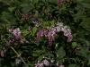 syringa-reticulata-imgp2211