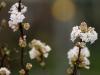 viburnum-bodnatense-deben-imgp1459e