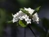 viburnum-burkwoodii-imgp0268