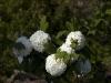 viburnum-opulus-roseum-imgp2283