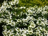 viburnum-plic-watanabe