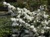viburnum-plicatum-grandiflorum-imgp2354