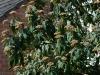 viburnum-rhytidophyllum
