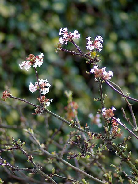 viburnum-bodnatense-deben