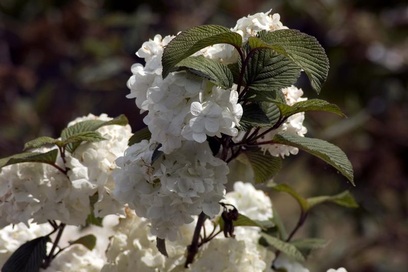 viburnum-plicatum-grandiflorum-imgp2355