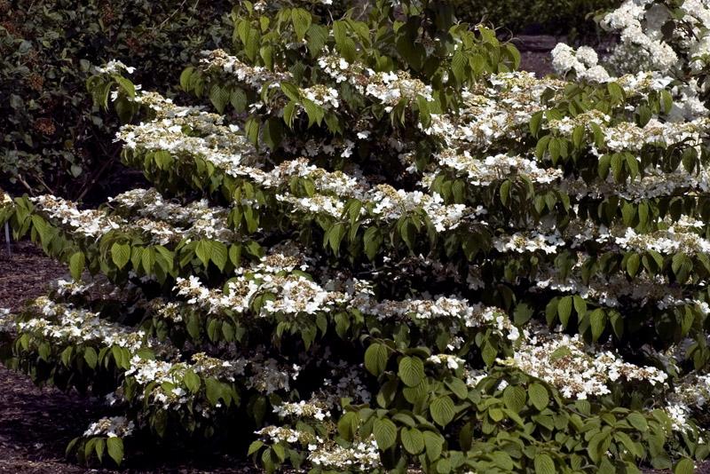 viburnum-plicatum-shasta-imgp2352